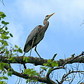 Great Blue Heron Afternoon Fishing  by Neal Eslinger