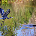 Great Blue Heron And Coot by Diana Haronis