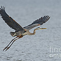 Great Blue Heron by Anthony Mercieca