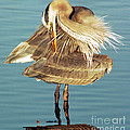 Great Blue Heron Ardea Herodias Preening by Millard H. Sharp