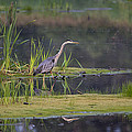 Great Blue Heron At Down East Maine Wetland by Marty Saccone