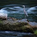 Great Blue Heron by Belinda Greb