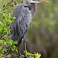 Great Blue Heron by Bob Gibbons