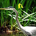 Great Blue Heron By Yellow Flower by Marilyn Burton