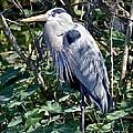Great Blue Heron by Carol  Bradley