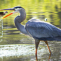 Great Blue Heron Catching Fish by Diana Haronis