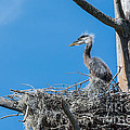Great Blue Heron Chick by John Greco