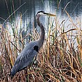 Great Blue Heron by Chrystyne Novack