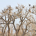 Great Blue Heron Colony by James BO Insogna