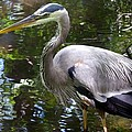 Great Blue Heron - Colorful Reflections by Marilyn Burton