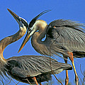 Great Blue Heron Courting Pair by Larry Nieland