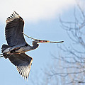 Great Blue Heron by Dale Kincaid