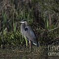 Great Blue Heron by Dale Powell