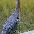 Great Blue Heron by Diane Macdonald