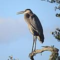 Great Blue Heron by Ellen Meakin