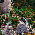 Great Blue Heron Family by Barbara Bowen
