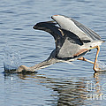 Great Blue Heron Fishing by Anthony Mercieca