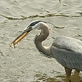 Great Blue Heron Fishing by Bob and Jan Shriner