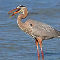 Great Blue Heron Flipping A Shrimp by Dave Mills