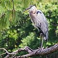 Great Blue Heron I by Susan Molnar
