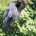 Great Blue Heron IIi by Susan Molnar