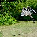Great Blue Heron In Flight 6 by Roy Williams