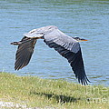Great Blue Heron In Flight by Carol Groenen