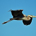 Great Blue Heron In Flight by Cynthia Guinn
