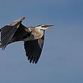 Great Blue Heron In Flight by Debra Martz