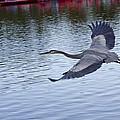 Great Blue Heron In Flight by Diana Haronis