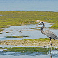 Great Blue Heron In Florida by Natural Focal Point Photography