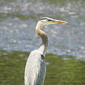 Great Blue Heron In Light  by Neal Eslinger