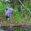 Great Blue Heron In Nature by Chuck  Hicks