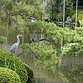 Great Blue Heron In Pond Kyoto Japan by Thomas Marchessault