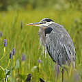 Great Blue Heron by John Vose