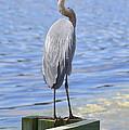 Great Blue Heron by Judith Morris