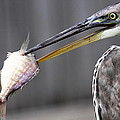 Great Blue Heron - Just Fred by Travis Truelove