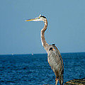 Great Blue Heron by Kimmary MacLean