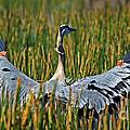 Great Blue Heron Landing by Larry Nieland