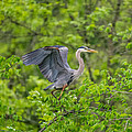 Great Blue Heron Landing by Paul Freidlund