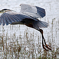 Great Blue Heron Landing Series 3 by Roy Williams