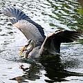 Great Blue Heron by Larry Ward