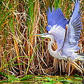 Great Blue Heron Lift Off by Linda Rae Cuthbertson