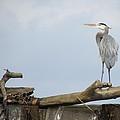 Great Blue Heron Looking Up