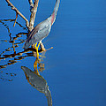 Tricolored Heron by Nikolyn McDonald