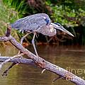 Great Blue Heron Oak Creek Canyon Sedona Arizona by Bob and Nadine Johnston
