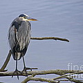 Great Blue Heron On Alert by Sean Griffin
