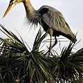 Great Blue Heron On Palm by Fran Gallogly