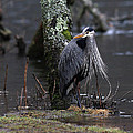 Great Blue Heron On The Clinch River by Douglas Stucky
