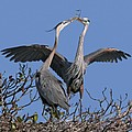 Great Blue Heron Pair by Larry Linton